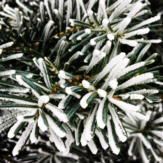 Frost forming on the pine trees